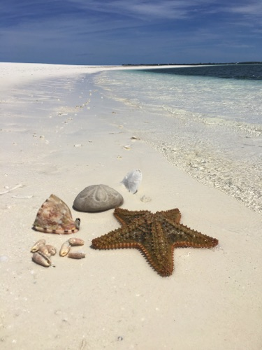finding helmet conch, sand dollars sea glass and shells in Eleuthera